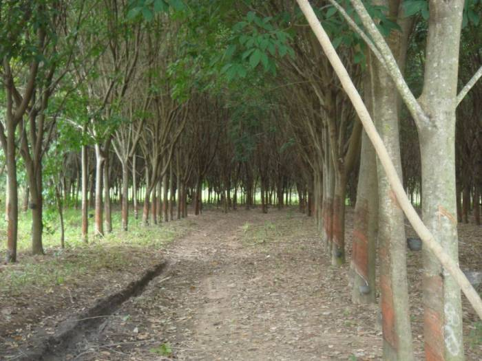 rubber tree plantation in Thialand