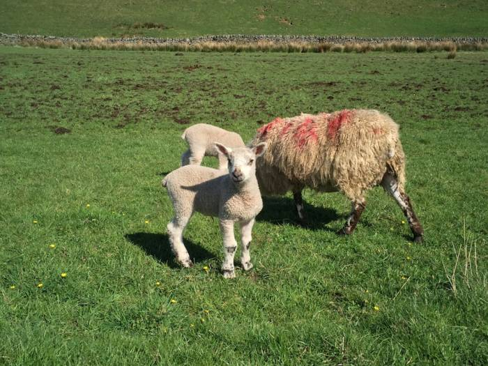 English wool lambs