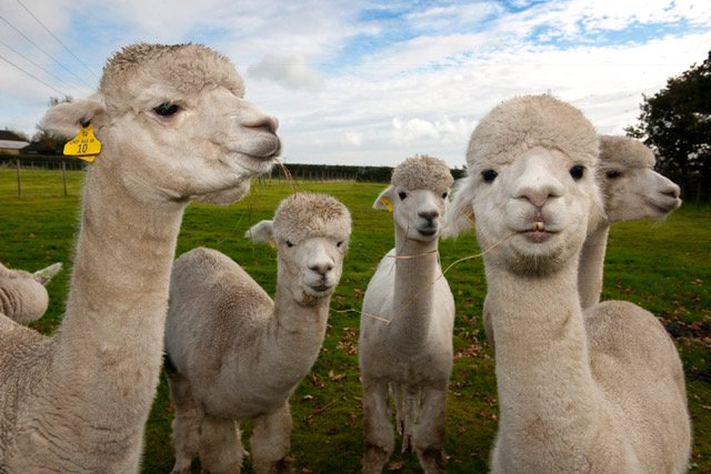 Some of the girls that produce our Alpaca fibre