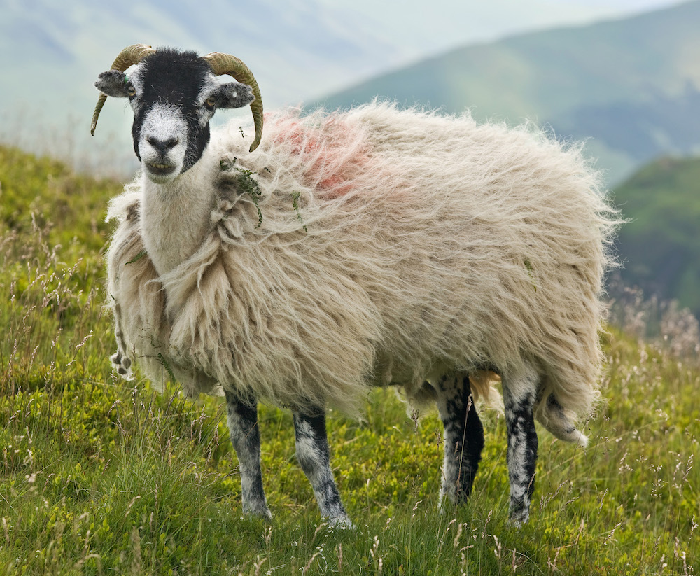Swaledale sheeps wool from Yorkshire is used in the Legacy mattress