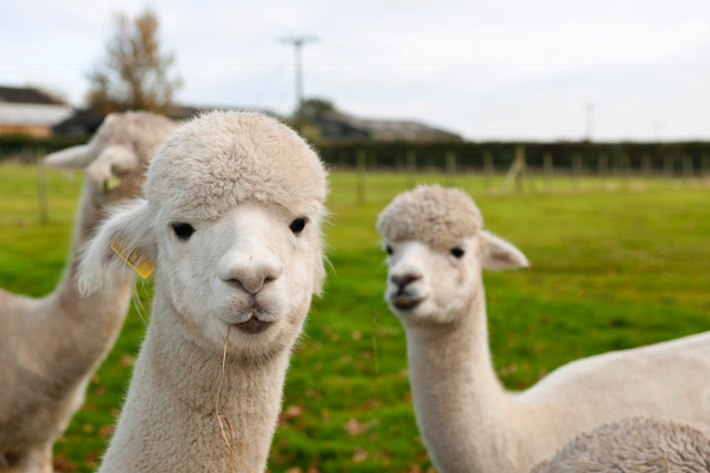 Uk Alpaca farm