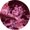 Pink Crush Premium