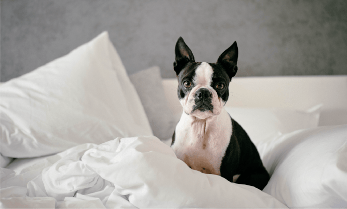 Black and white dog in bed