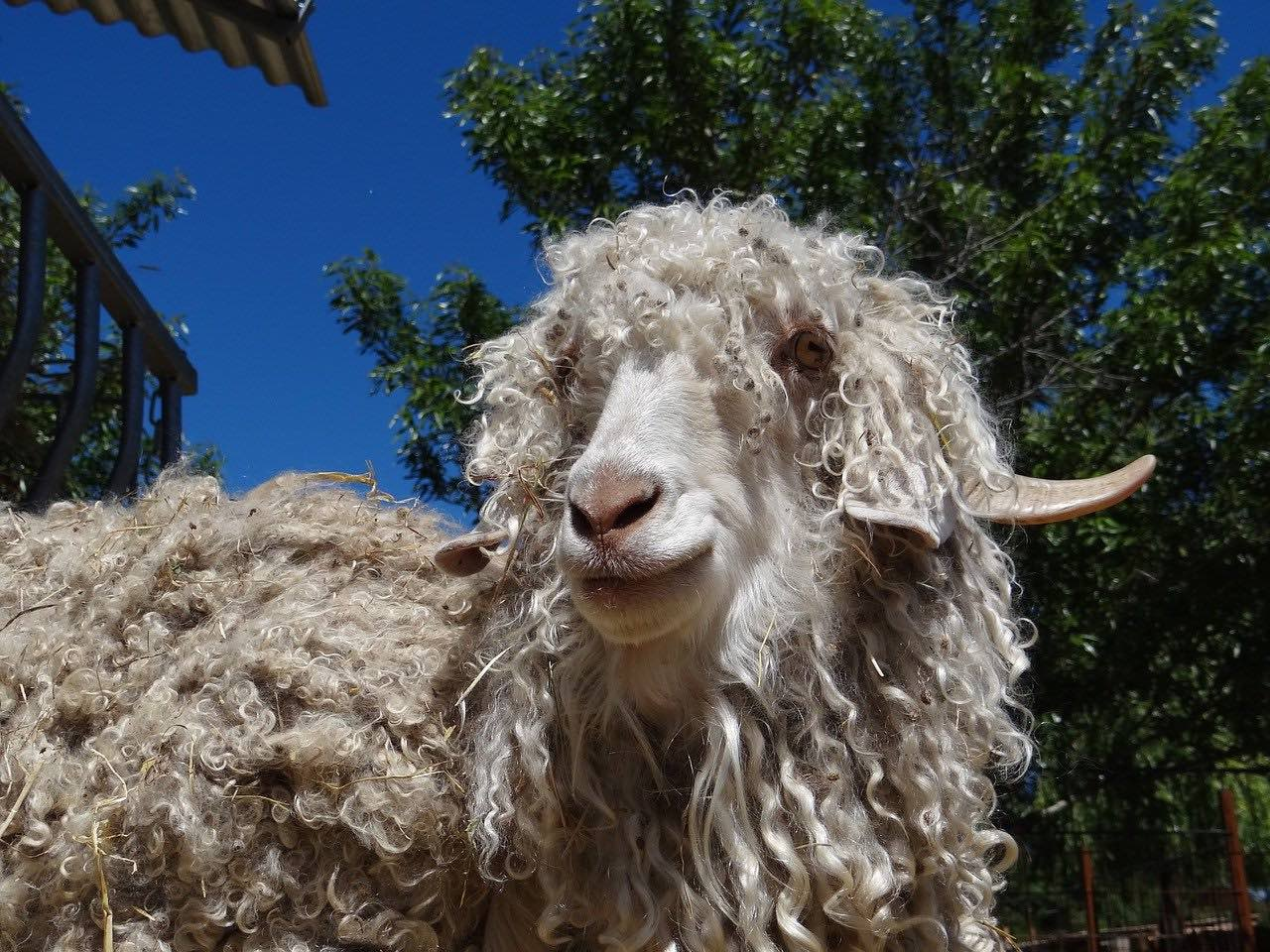Mohair mattresses and an angora goat